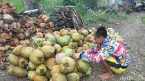 Pangandaran Terancam Krisis Buah Kelapa