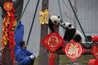 Panda di Chengdu, China (Reuters)