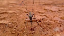 Nyamuk dari jenis Toxorhynchites ini berukuran raksasa tapi tidak perlu ditakuti. Ia tidak menyerang manusia malah membantu dengan memangsa jentik nyamuk lain.