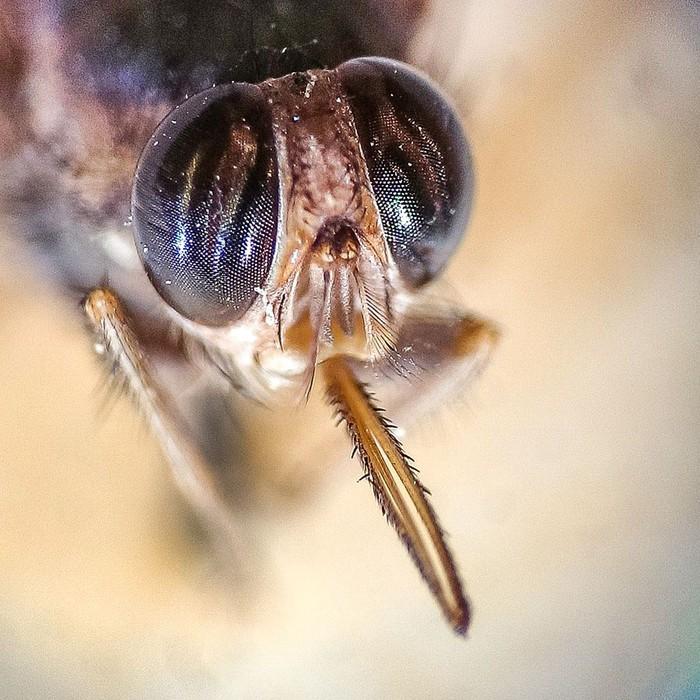 Lalat ini merupakan hewan parasit yang hidup dengan menghisap darah hewan lain termasuk manusia. (Foto: Wikimedia Common/Bernskbarn)