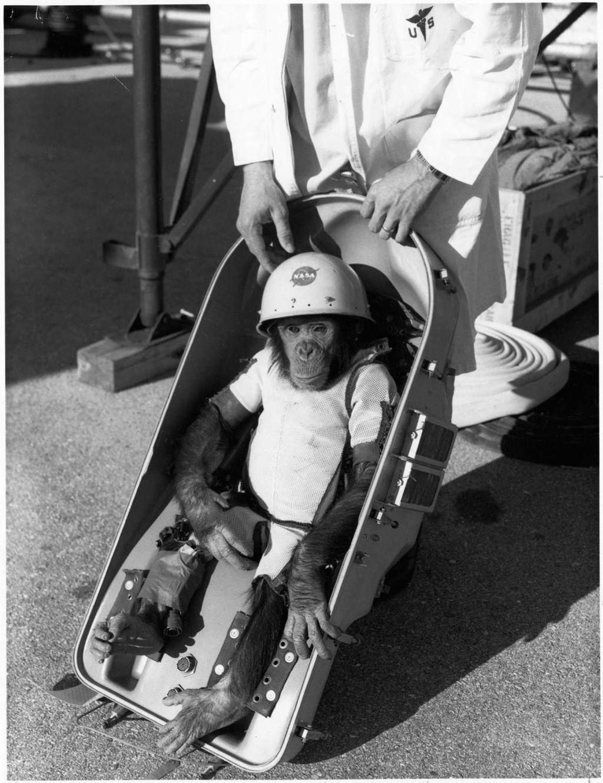 Ini adalah Ham, simpanse pertama yang sukses diterbangkan ke luar angkasa. Foto: NASA
