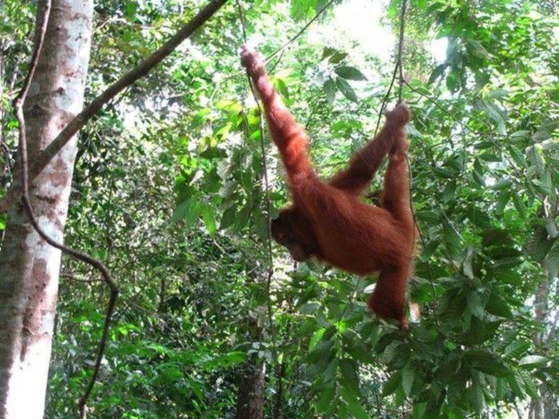Melihat orangutan asli Sumatera, cobalah ke TN Gunung Leuser. Di sana, ada Bukit Lawang yang seru untuk dijelajahi (Saiful Azhar/dTraveler)