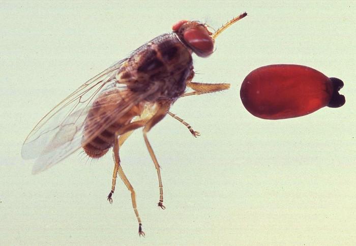 Perbandingan pupa dan lalat tsetse dewasa. (Foto: Wikimedia Common/Acarologiste)