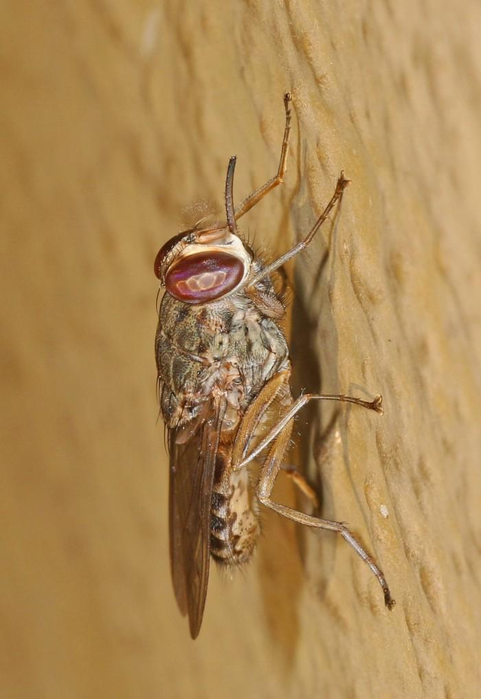 Sekilas mirip dengan lalat rumahan namun lalat tsetse punya ciri khas melipat sayapnya dalam posisi saling bertumpuk saat istirahat. (Foto: Wikimedia Common/Judy Gallagher)