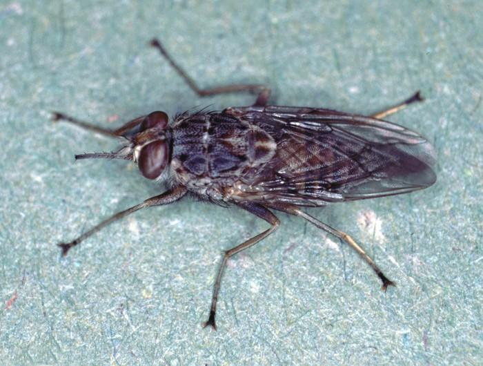Lalat tsetse (Glossina sp) adalah jenis lalat yang habitat aslinya ada di daerah Afrika Tengah. (Foto: Wikimedia Common/Alan R Walker)