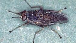 Penyakit tidur (African trypanosomiasis) membuat pengidapnya selalu mengantuk, kehilangan koordinasi hingga koma. Semua bermula dari gigitan lalat tsetse.
