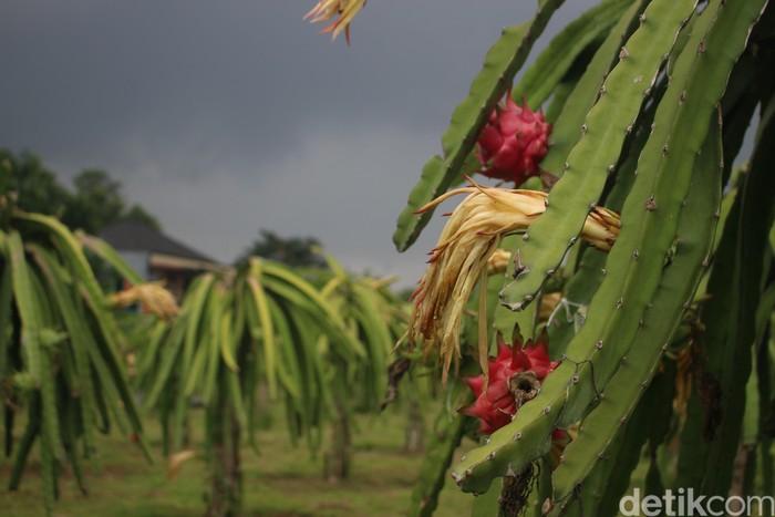 Di kawasan ini selain dapat membeli buah naga, pengunjung juga dapat berkeliling area perkebunan dan memetik langsung buah naga ini. Foto: Kireina S. Cahyani/detikHealth