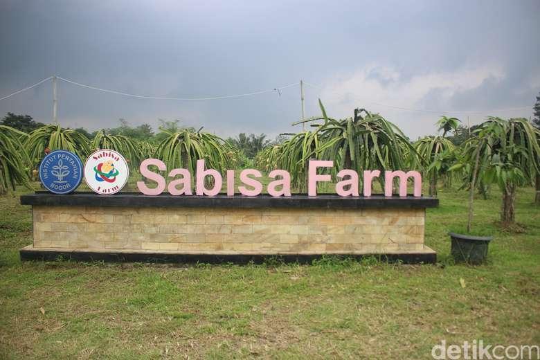 Sabisa Farm merupakan suatu perkebunan budidaya buah naga di kawasan kota Bogor yang dikelola oleh mahasiswa Institut Pertanian Bogor. Foto: Kireina S. Cahyani/detikHealth