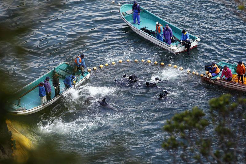 Perburuan lumba-lumba di Taiji sudah berlangsung sejak abad ke-17 hingga kini. Ratusan lumba-lumba diburu dengan cara yang kejam (Reuters)