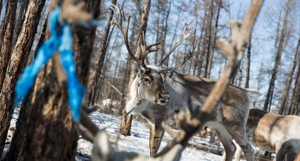 Rusa mampu cepat beradaptasi dengan cuaca sekitarnya dan selama musim panas, Suku Dukha mencari tempat yang lebih tinggi dan berangin. Di musim dingin, mereka pergi ke daerah-daerah di mana salju berlimpah (Taylor Weidman/BBC Travel)