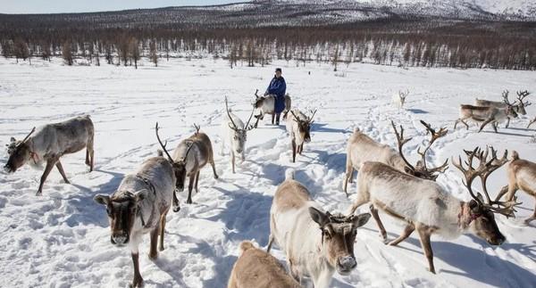 Suku Dukha berada jauh di dalam hutan salju Mongolia. Menggembala rusa lebih dari sekedar pekerjaan karena merupakan budaya dan tradisi mereka (Taylor Weidman/BBC Travel)