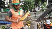 Ikan Arwana Emas Mendadak Muncul di Kali Mati Jakut