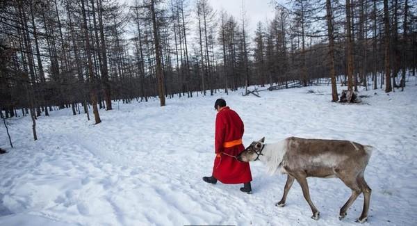 Mereka hidup sebagai penggembala rusa di hutan salju atau taiga. Di musim dingin, taiga diselimuti salju tebal, pohon-pohon konifernya hanya tinggal dahan tanpa daun karena dinginnya bisa mencapai -50 derajat Celcius (Taylor Weidman/BBC Travel)
