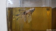 Menarik! Berantas Jentik Nyamuk dengan Ikan Cupang
