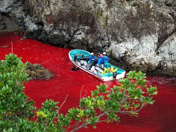 Darah lumba-lumba yang jumlahnya ratusan, akan membuat lautan yang biru menjadi merah! (AFP)