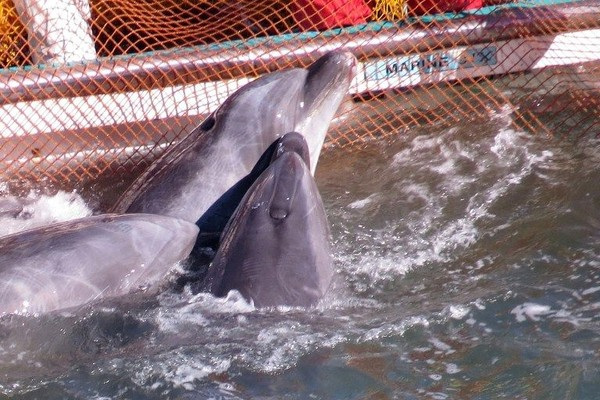 Bahkan, ada pula lumba-lumba yang ditangkap untuk dijual ke sirkus (AFP)