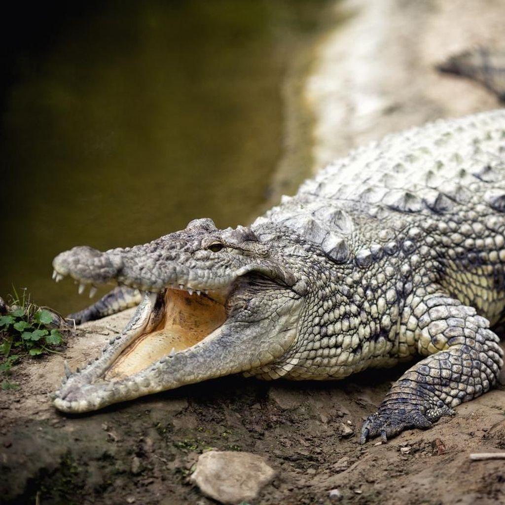 Cari Kerang di Sungai Batang Sumbar, Suwardi Luka Digigit Buaya