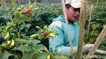 Penampakan Ulat yang Bikin Harga Cabai Inul Goyang
