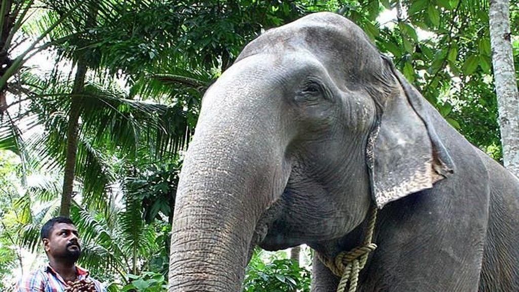Gajah Nenek di India Mati dalam Usia 88 Tahun