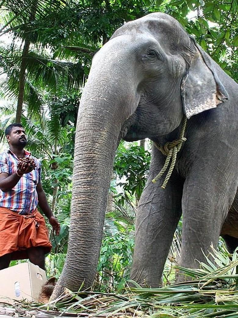 Unduh 101+ Gambar Gajah India Paling Bagus Gratis