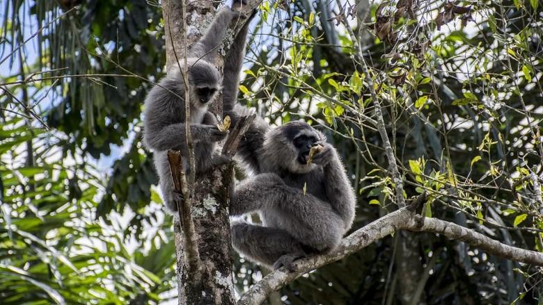 Spesies Owa Jawa di Situ Patenggang (Antara Foto/Nurul Ramadhan)