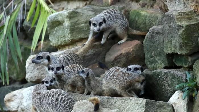 Ilustrasi hewan meerkat di kebun binatang. Foto: Getty Images