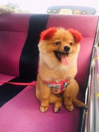 Diwarnai Pink, Kuping Anjing Ini Alergi Sampai Lepas Dari Kepala