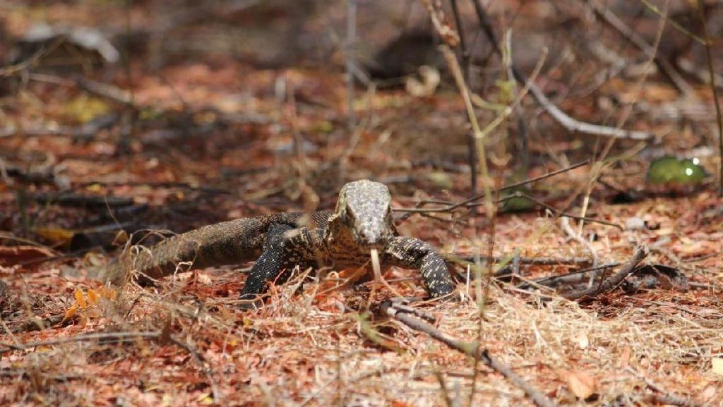 Mengenal Komodo di Pulau Ontoloe