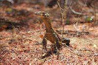 Komodo yang masih kecil di Ontoloe (dok Istimewa/BBKSDA NTT)