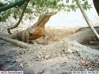 Komodo di Ontoloe yang terrekam kamera trap (dok Istimewa/BBKSDA NTT)