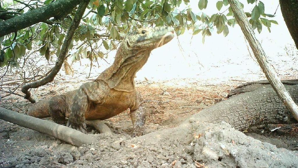 Komodo Tidak Hanya Ada di Taman Nasional Komodo