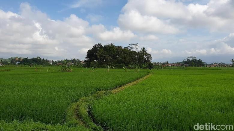 Area persawahan di Situ Gede, Kota Tasikmalaya (Masaul/detikTravel)