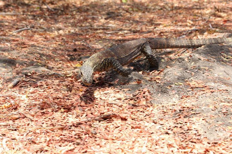 Sekitar 2.000 komodo, hidup di area Taman Nasional Komodo. Menurut data BBKSDA (Balai Besar Konservasi Sumber Daya Alam) NTT, habitat komodo juga ada di luar taman nasional tersebut seperti salah satunya di Pulau Ontoloe yang berada di Taman Wisata Alam Laut 17 Pulau, Riung, NTT (dok Istimewa/BBKSDA NTT)