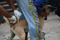 Anjing warga di Dompu diberi vaksin rabies.