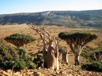 Pulau ini hanya diisi oleh spesies tumbuhan endemik, yang tentunya dengan bentuk yang aneh-aneh. (socotra.ru)