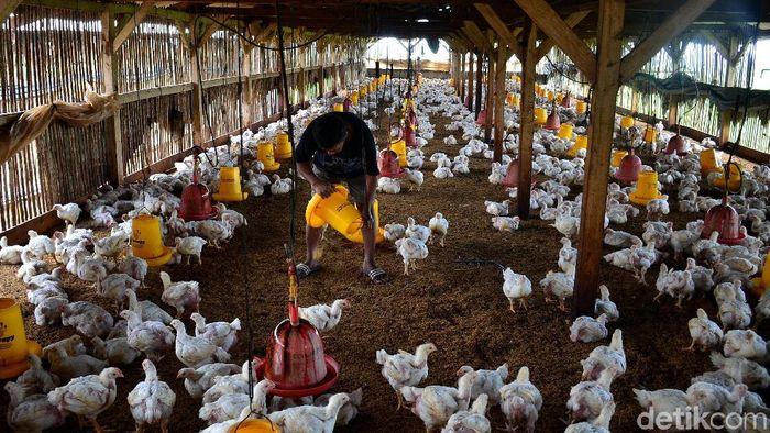 Sebuah peternakan di Cimincrang, Bandung, Jawa Barat, diisi penuh ayam broiler. Seperti apa penampakannya?