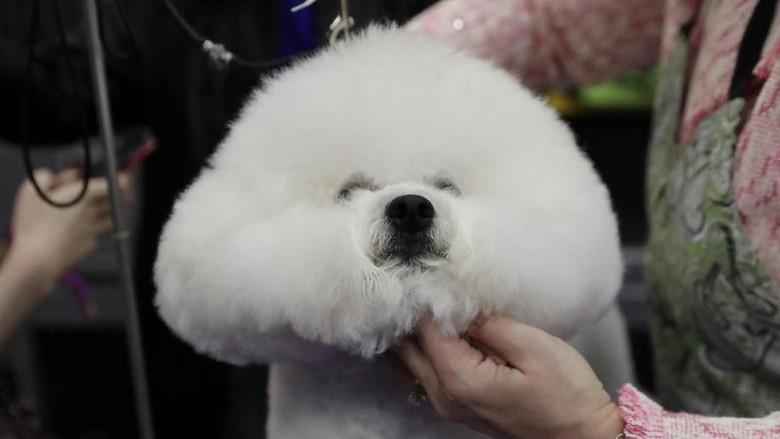 Melihat Kontes Anjing-anjing Lucu di New York