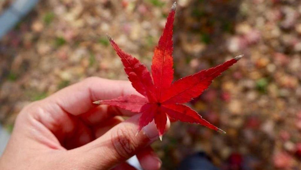 Cuma di Jepang, Daun Gugur Jadi Cantik Sekali