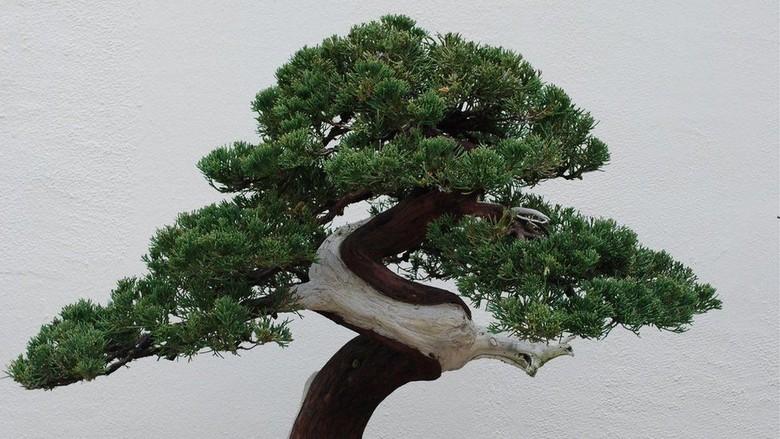 Kehilangan Pohon Bonsai Rp1 2 M Pemilik Memohon Pencuri