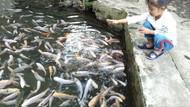 Foto: Adem, Main di Kolam Ikan Alami di Salatiga