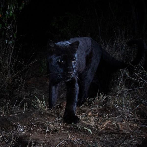 Diketahui bahwa spesies kucing raksasa dengan melanisme disebut sebagai black panther, sama seperti macan tutul hitam di kawasan Asia dan Afrika dan black jaguar di Amerika.Diperkirakan, hanya sekitar 11 persen macan tutul di Bumi ini yang berwarna hitam (Will Burrard-Lucas/Loisaba Conservancy/Facebook)