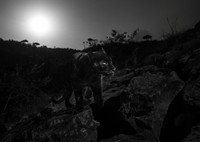 Penampakan itu terjepret camtraptions, suatu kamera jebakan yang didesain khusus oleh para peneliti dari San Diego Zoo Global. Penampakan black panther ini menjadi yang pertama dalam 100 tahun terakhir (Will Burrard-Lucas/Loisaba Conservancy/Facebook)