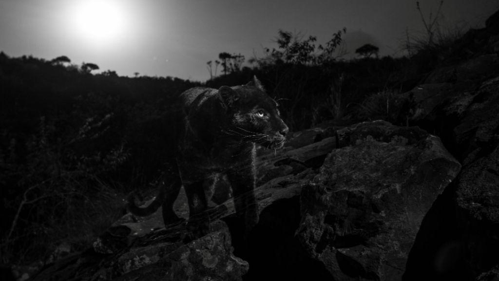 Foto: Penampakan Black Panther di Afrika