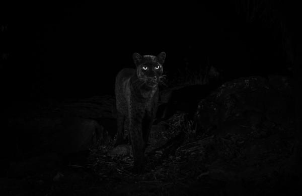 Seorang fotografer, Will Burrard-Lucas berhasil memotret black panther di Loisaba Conservancy, Kenya (Will Burrard-Lucas/Loisaba Conservancy/Facebook)