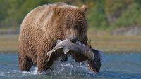 Benci Mantan? Beli Saja Salmon Dengan Nama Mantan dan Diberikan Pada Beruang!