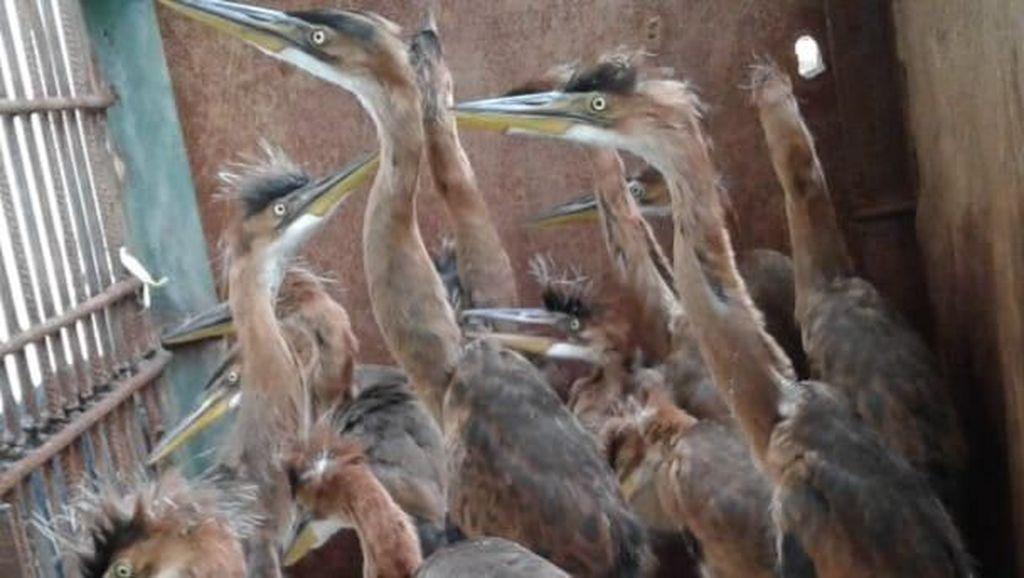 14 Ekor Burung Cangak Diamankan Petugas