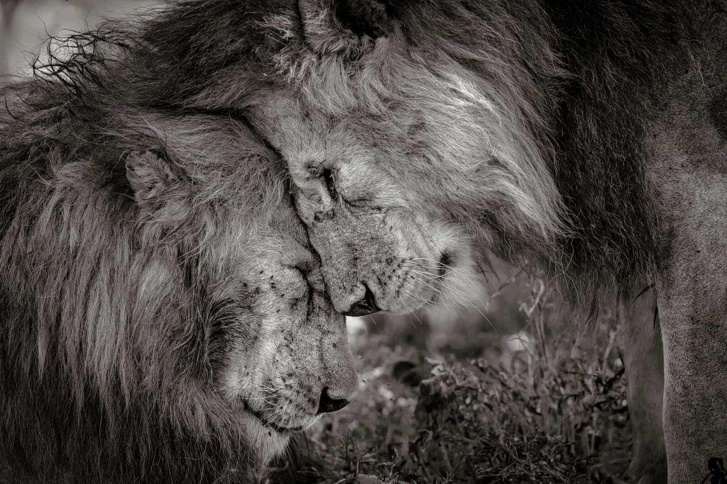 Foto karya David Lloyd ini didapuk sebagai juaranya. Menampilkan dua singa jantan dewasa yang saling menyapa dengan menggosok wajah selama 30 detik sebelum duduk. Kebanyakan orang tidak pernah memiliki kesempatan untuk menyaksikan perasaan binatang seperti itu, dan Lloyd mengatakan dia merasa terhormat telah mengalami dan menangkap momen seperti itu. Foto: Wildlife Photographer of the Year