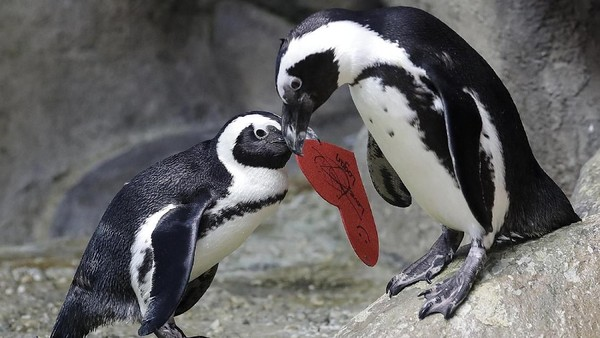 Penguin memang selama ini dikenal sebagai hewan yang monogami alias hanya punya satu pasangan sepanjang hidupnya. Romantis kan? (AP Photo)