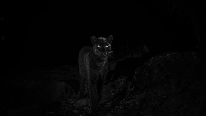 Penampakan black panther di Loisaba Conservancy (Will Burrard-Lucas/Loisaba Conservancy/Facebook)
