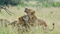 Loisaba Conservancy adalah rumah bagi 260 spesies burung dan 50 spesies mamalia. Beberapa satwanya seperti gajah, jerapah, singa, zebra, rusa, banteng dan masih banyak lagi (Loisaba Conservancy/Facebook)